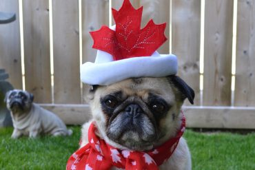 Hilarious Canadian pug