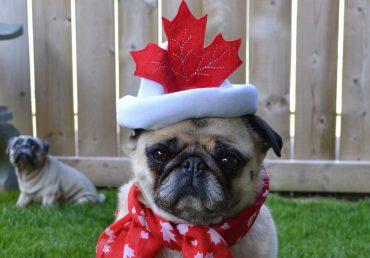 Hilarious Canadian pug