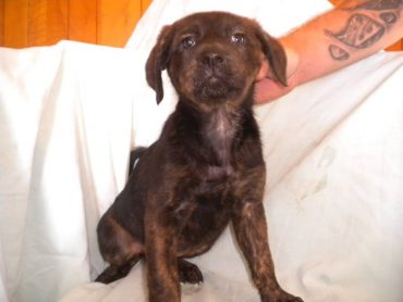 Beautiful rescue brindle puppy Charlotte