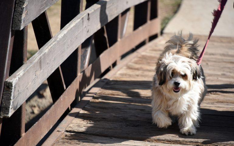 shaggy-dog-walking