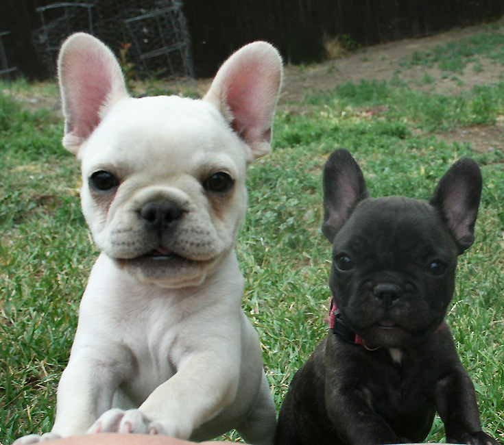 Bully Breed Dog Training Kansas