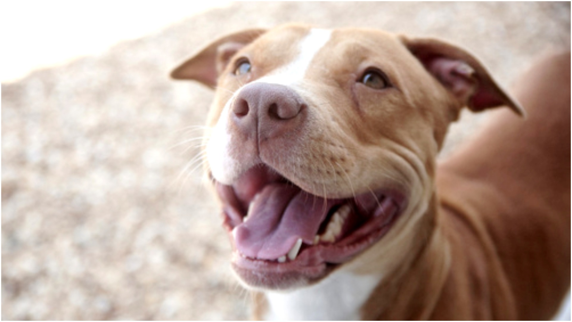 Here's What It's Really Like To Live With A Pit Bull – AngusPost