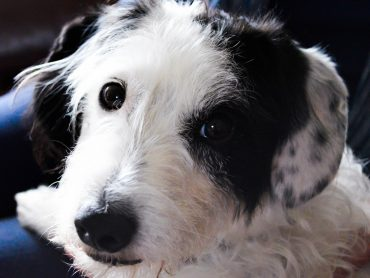Sweet little terrier with black and white spots