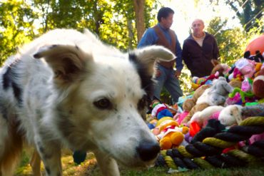 Chaser the brilliant border collie and her mountain of toys