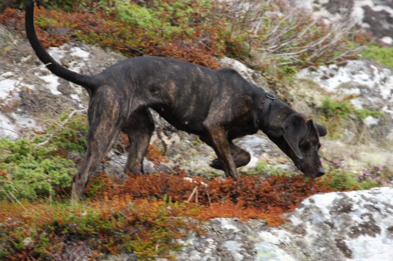 12 Beautiful Brindle Breeds – AngusPost